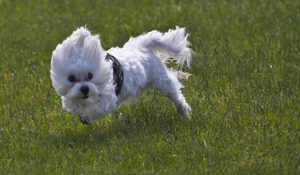 happy maltese puppy playing in the grass