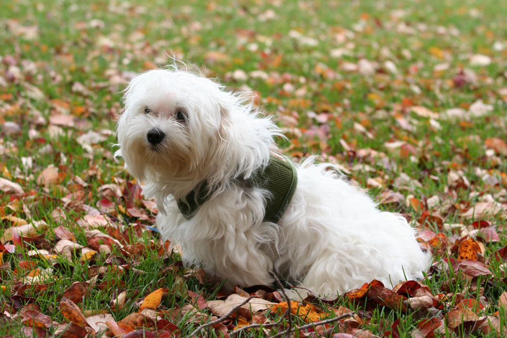 White Maltese Dog