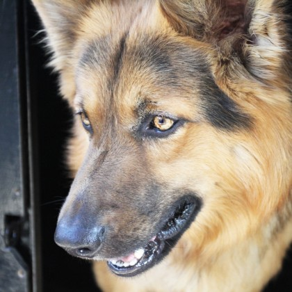 german shepard dog portrait