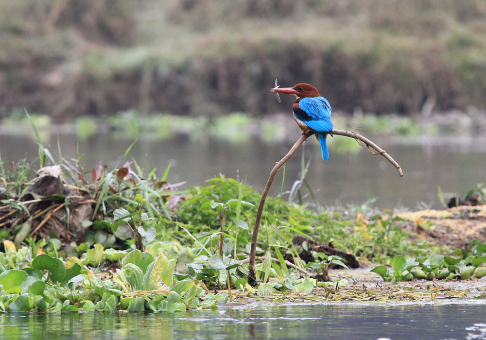 A kingfisher catches a meal consisting of Dragon Fly