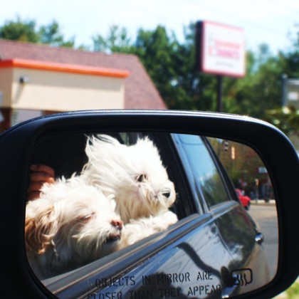 Dogs going for a car ride