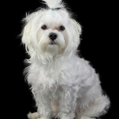 Potrait of Maltese dog isolated on the black background