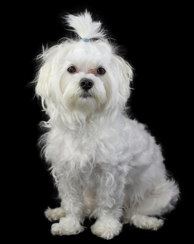 Potrait of Maltese dog isolated on the black background