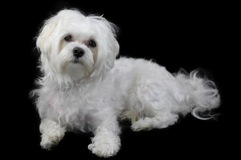 Maltese Portrait black background