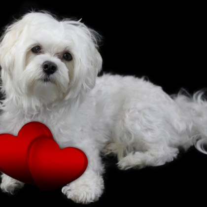 Maltese Portrait with love sign