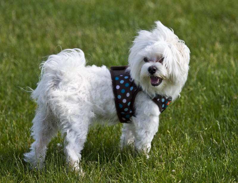 Maltese  Dog Playing on the grass