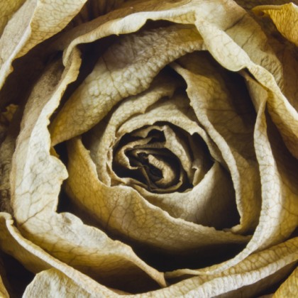 Dry yellow rose