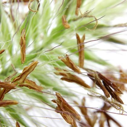 Grass Tip Closeup
