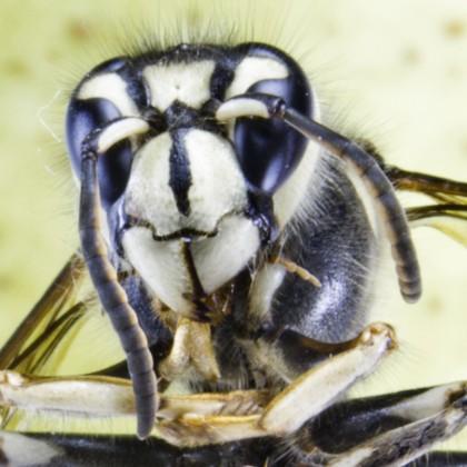 Macro of hornet (Vespa crabro)
