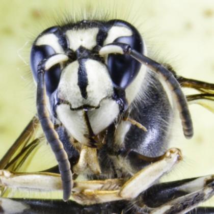 Macro of hornet