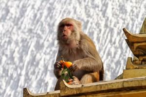 Money eating orange, swayambhu, Nepal