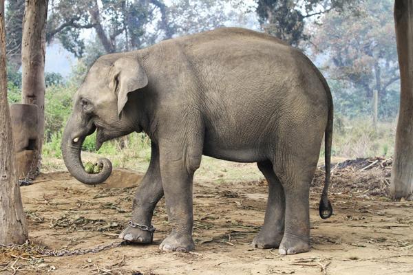 elephants – Royal Chitwan National Park in Nepal