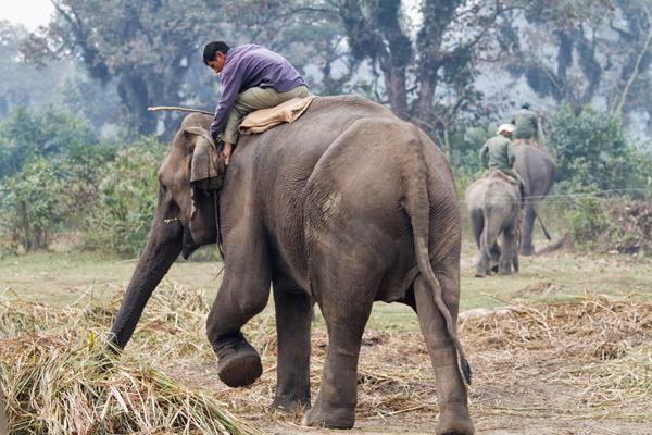 elephant – CHITWAN, NEPAL