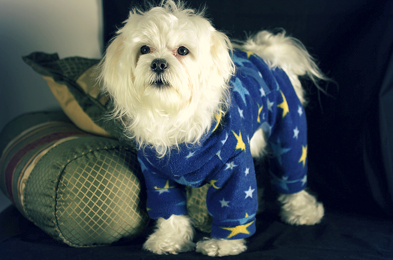 maltese wearing clothes and posing for the camera