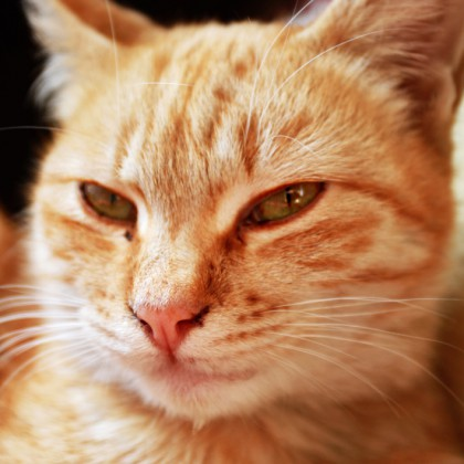 Ginger Cat Closeup