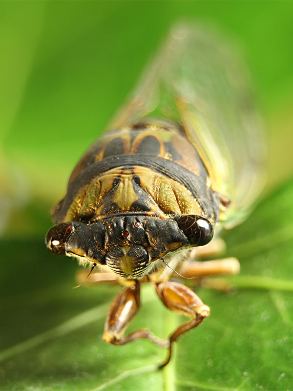 Cicada isolated on green background