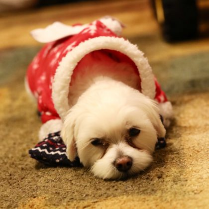 Dog in  Christmas attire