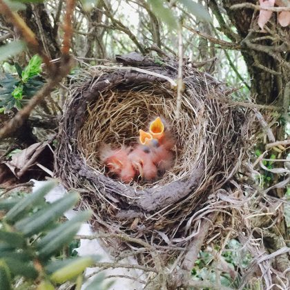 robins babies in the nest