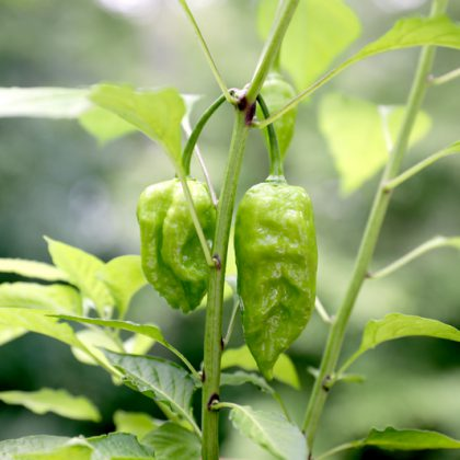 World's hottest pepper Ghost paper (red bhut jolokia)