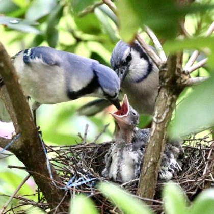 A mother Blue Jay feeding her hungry babies