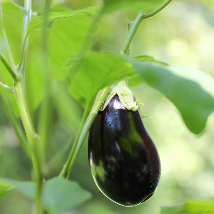 Growing the eggplants