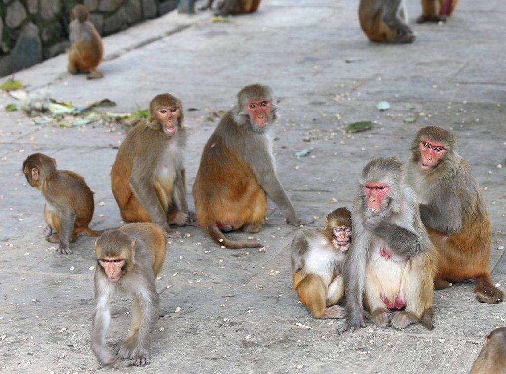 Monkeys – Swayambhunath Stupa (Monkey Temple) in Kathmandu Nepal