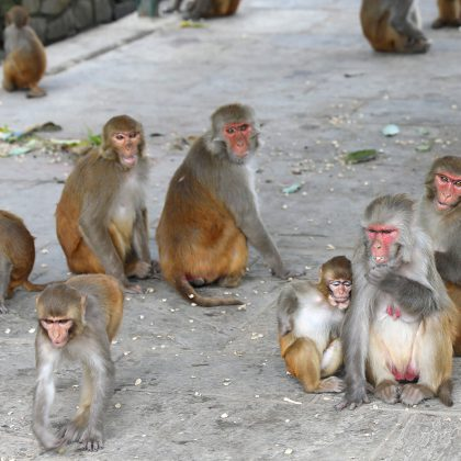 Monkeys – Swayambhunath Stupa (Monkey Temple) in Kathmandu Nepal