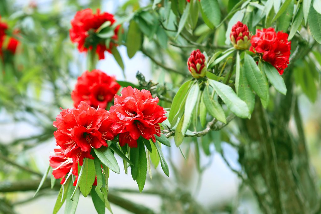 Red Himalayan rhododendron